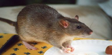 rat control stockport manchester cheshire tameside
