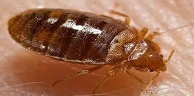 bed bugs stockport manchester cheshire tameside