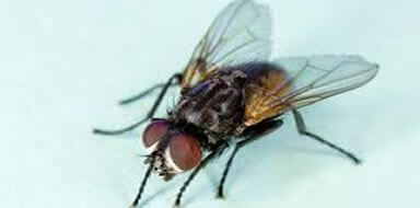 pest problems - flies stockport manchester cheshire tameside
