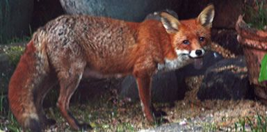 fox control stockport manchester cheshire tameside