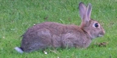 wild rabbbit control stockport manchester cheshire tameside